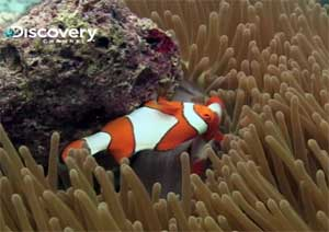 LIFE-fish-clownfish-sea-ane.jpg