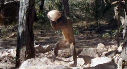 LIFE-intro-capuchin-monkey-.jpg