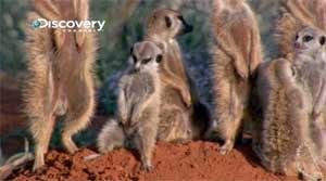 LIFE-mammals-drowsy-meerkat.jpg