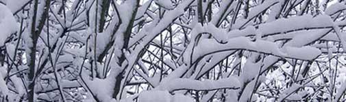 snowy-branches.jpg