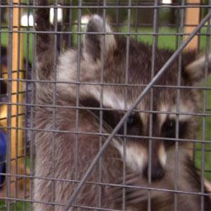 raccoon-caged.jpg