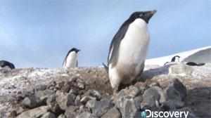 frozen-planet-penguin-thief.jpg