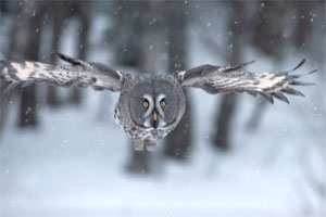 frozen-planet-snowy-owl.jpg