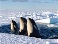 frozen-planet-orcas.jpg