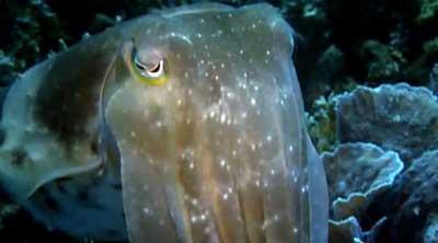 NOVA-Cuttlefish-closeup.jpg